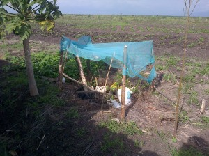 Net being used to protect seedlings
