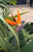 Bird of Paradise, a very aptly named flower