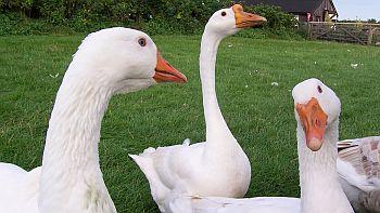 Geese-rantatonne.jpg