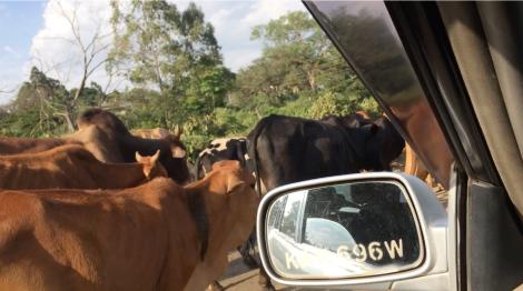 cattle-in-kangemi-rantatonne